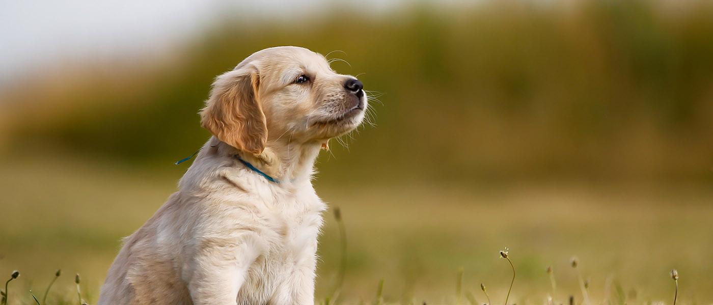 Cortisol Creatinine Ratio Addison S Dogs